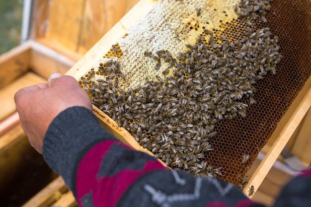 양봉장에 있는 농부가 밀랍 벌집이 있는 틀을 들고 수집을 위한 계획된 준비