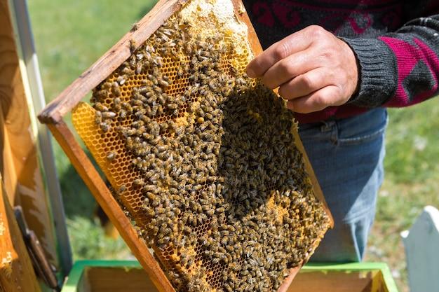 양봉장에 있는 농부는 밀랍 벌집이 있는 틀을 들고 있습니다.