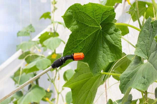 한 농부가 온실에서 오이에 살충제를 뿌립니다. 곤충으로부터 야채 보호.