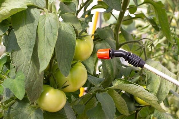 한 농부가 온실에서 토마토에 살충제를 뿌립니다. 곤충으로부터 야채 보호. 프리미엄 사진