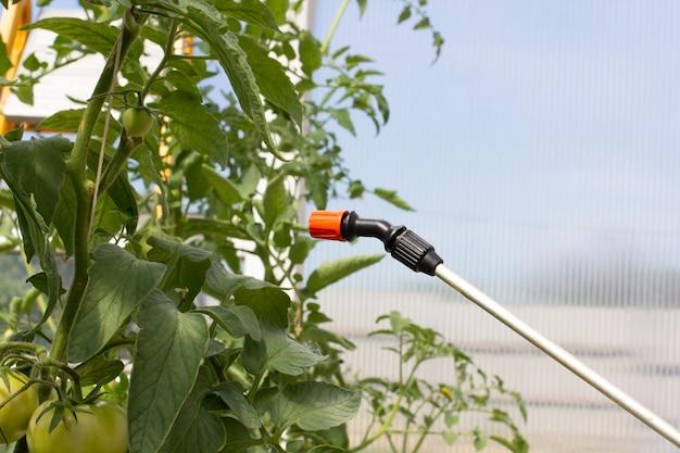 농부가 온실에서 토마토에 살충제를 뿌립니다.