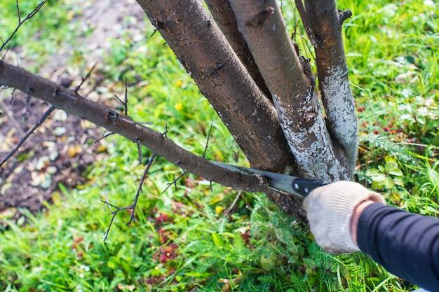 톱으로 농부의 손이 과일 나무에서 가지를 잘라냅니다. 원예 도구