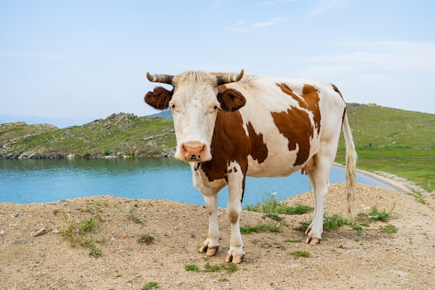 Толстая корова с рогами позирует в траве на фоне голубого озера байкал