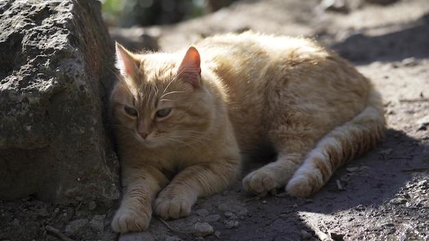 太ったかわいい生姜猫が地面に横たわり、周りを見回して尻尾を振っています。大人の猫が石の隣の地面で休んでいます。ペット。クローズアップ、4kuhd。