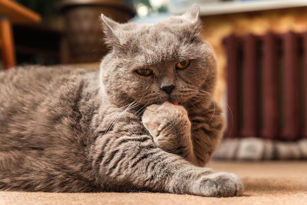 太った灰色のブリティッシュ猫が床に横たわり、足をなめています。