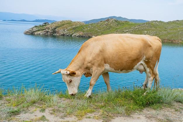 Толстая белая корова с рогами позирует в траве на фоне голубого озера байкал.