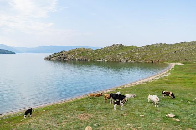뿔이 있는 뚱뚱한 흰색 암소가 푸른 호수 바이칼을 배경으로 풀밭에 서서 포즈를 취하고 있습니다.