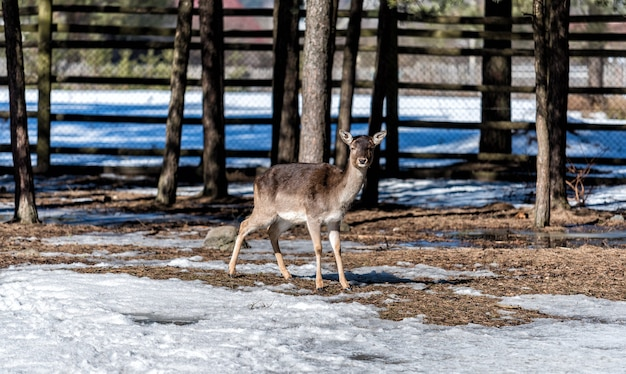 겨울에 울타리 뒤에 있는 새끼 사슴