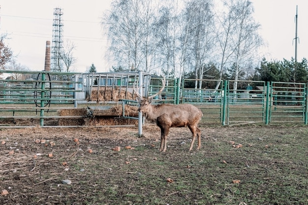 동물원의 새장에 있는 새끼 사슴은 프레임을 들여다보고 얼어붙었습니다. 제한된 조건의 야생 동물. 새장에 갇힌 동물의 권리를 보호한다는 개념.