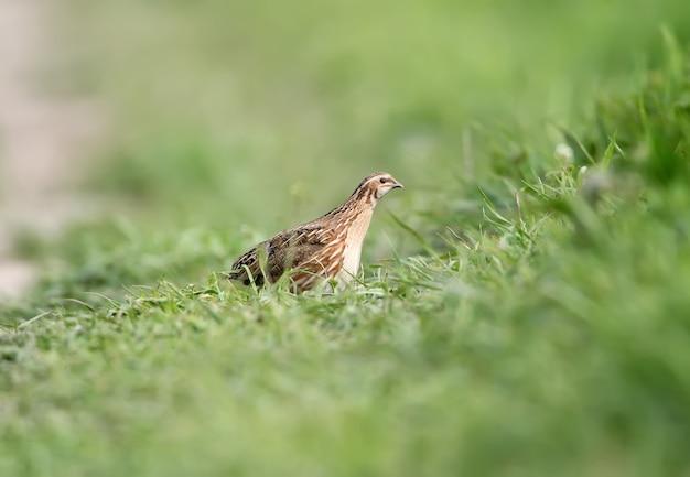 암컷 메추라기 (coturnix coturnix) 또는 자연 서식지의 유럽 메추라기