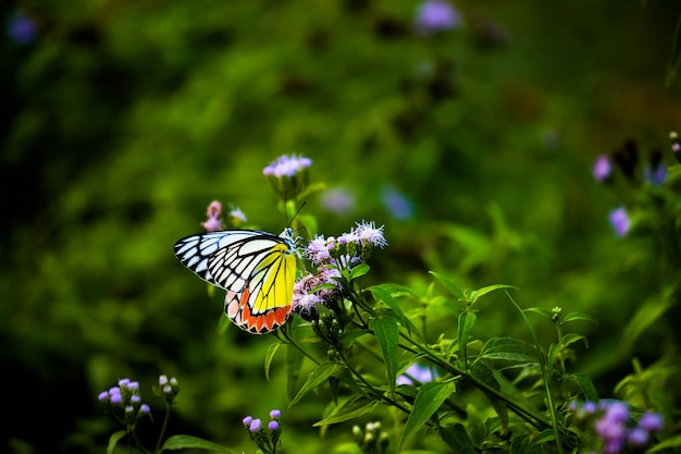일반적인 jezebel 암컷 delias eucharis는 식물에 있는 중간 크기의 피어드 나비입니다