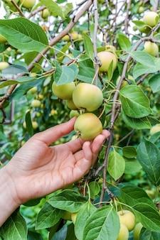 Садовник осматривает созревающие яблоки на ветке яблони