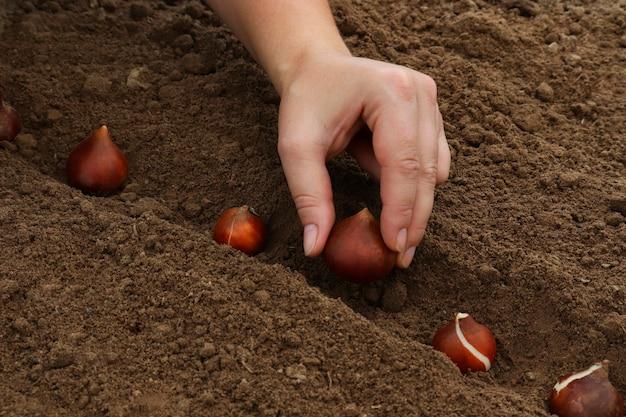 여성 정원사는 봄에 땅에 튤립 구근을 심습니다