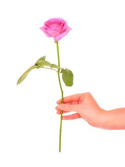 흰색 위에 핑크 장미를주는 여성 손
