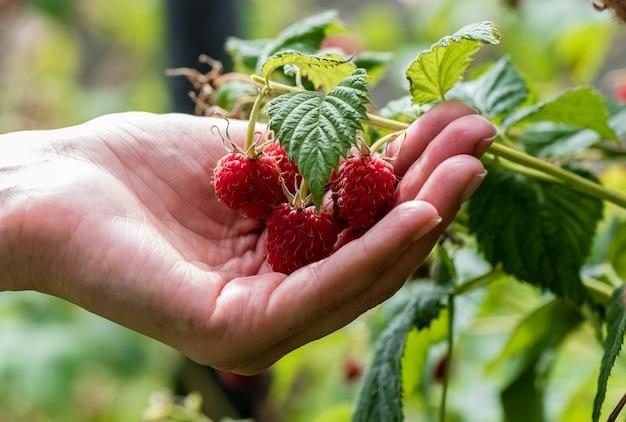 Женская рука держит ягоду малины