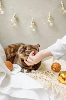 Женская рука поглаживает пушистого породистого кота, лежащего на кровати среди елочных украшений и гирлянд