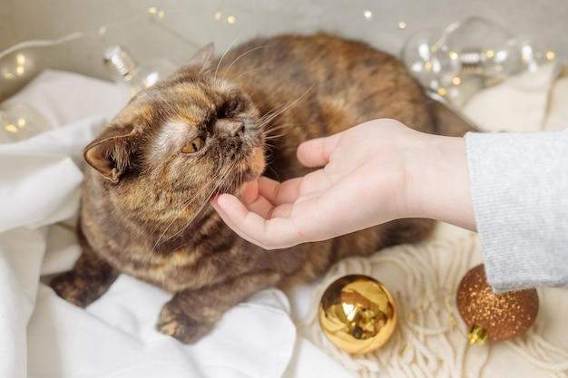 クリスマスツリーの飾りと花輪の中でベッドに横たわっているふわふわの純血種の猫をなでる女性の手