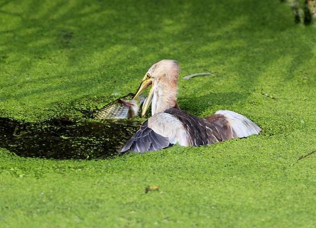 Самка выпи поймала в воде гигантского карася. очень редкое фото.