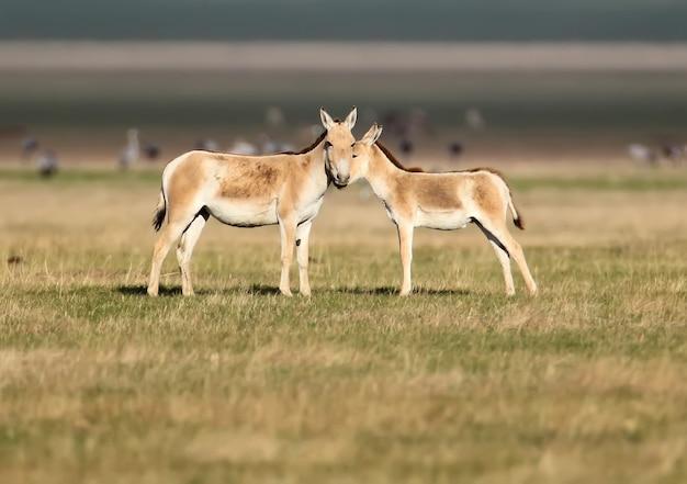 金色の草の上に子馬を持つメスのアジアノロバ(equus hemionus)が立っています。写真はaskanianovareservatで撮影されました