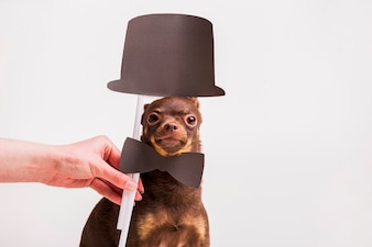 A female's hand holding bowtie prop and hat on russian toy dog