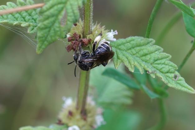 암컷 yellow loosetrife 꿀벌