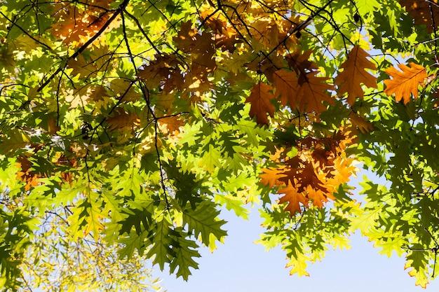 참나무의 황변 한 단풍에 몇 가지 가지와 초가을에 나머지 녹색 단풍