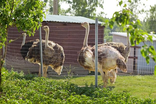 Несколько страусов в вольере за решеткой. страусиная ферма