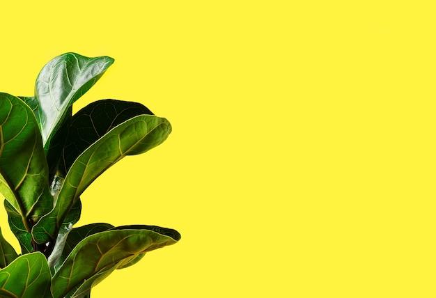 노란색 배경에 바이올린 잎 무화과