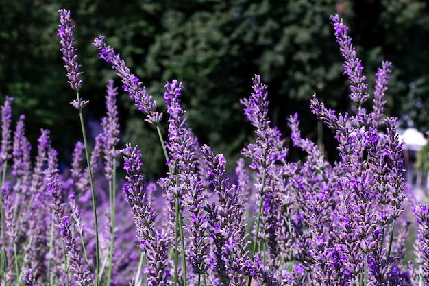 開花中に咲く紫色のラベンダー畑