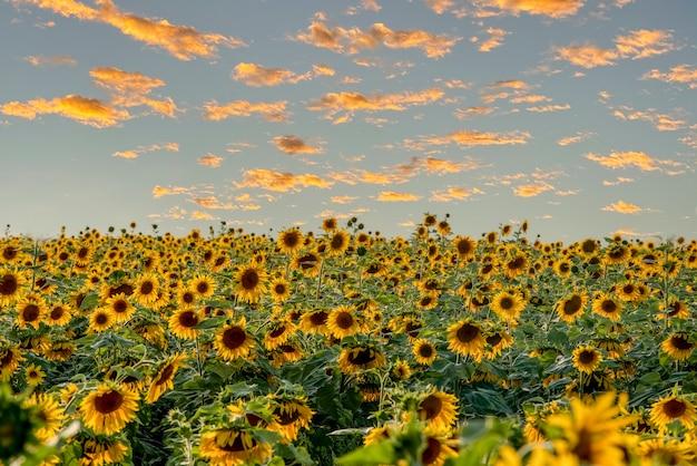 Поле ярких подсолнухов голубое небо с желтыми облаками идеальные обои для рабочего стола