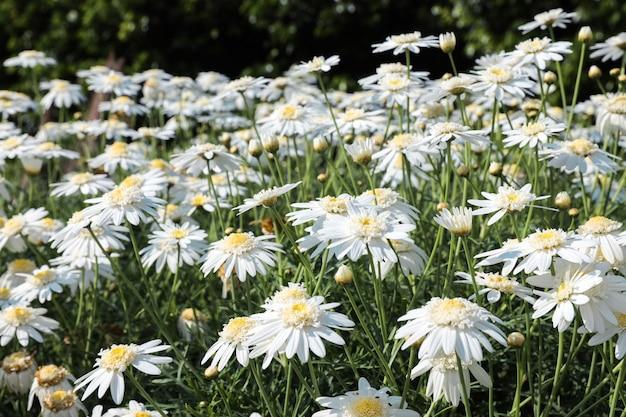 Поле цветущих ромашек летом