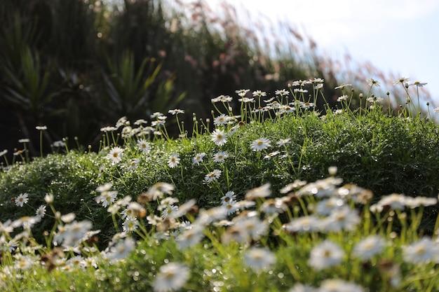 Поле цветов ромашки на зеленом лугу