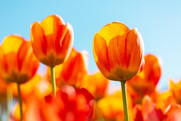 夏の明るい日光の光線の中で燃えるようなオレンジ色のチューリップのフィールド