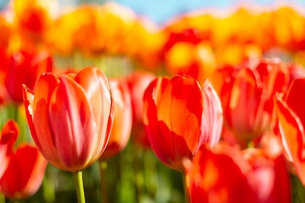 Поле огненно-оранжевых тюльпанов в лучах летнего яркого дневного света