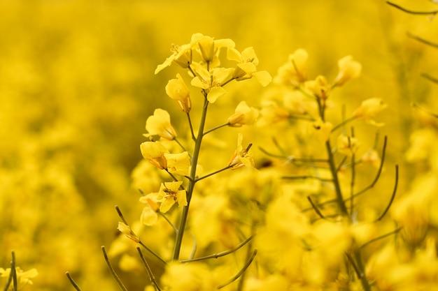 Поле рапса с ярко-желтыми цветами. понятие весенней открытки с копией пространства.