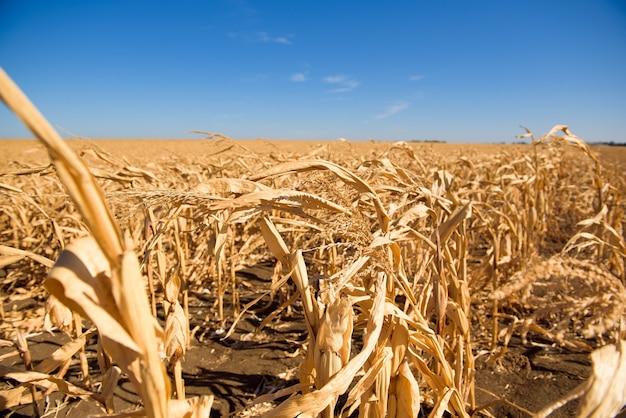 秋に収穫の準備ができている熟したトウモロコシの畑。