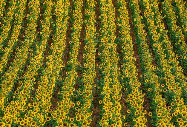 日当たりの良い夏の日のひまわり畑