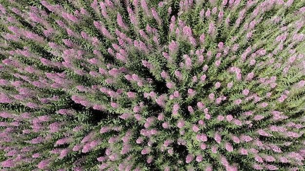 꽃이 만발한 헤더, 버드나무 차 또는 라벤더가 있는 들판. 야생화의 상위 뷰입니다. 카메라가 천천히 위로 움직입니다. 끝없는 필드.