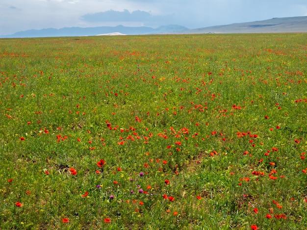 山のポピーのいる畑。自然な春の背景。