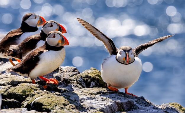 대서양 puffins의 무리는 뜨거운 햇빛 아래 큰 돌에서 휴식을 취하고 있습니다.