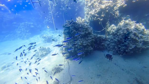 푸른 물고기 떼가 홍해 위의 산호 근처에서 헤엄친다