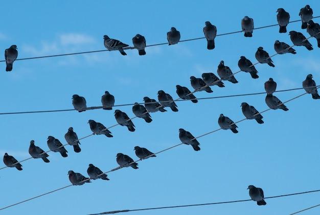 Стая голубей columba livia сидит на электрических проводах