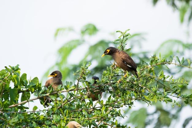 一般的なインドハッカまたはacridotherestristisの群れは、時々木の上でインドハッカのperchecを綴りました