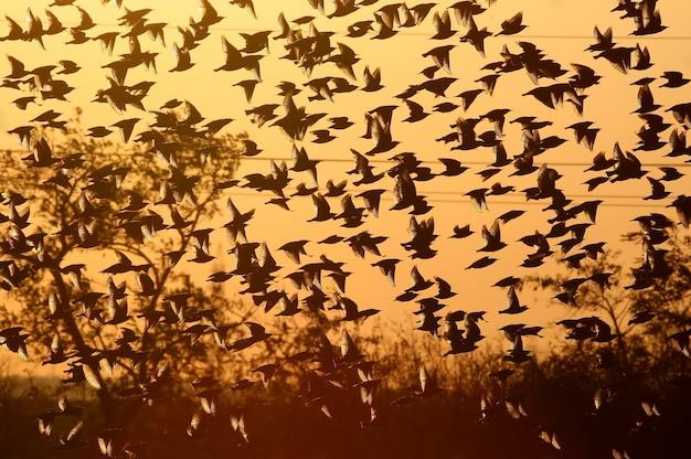 ホシムクドリの群れが夕方の赤い光の中で飛ぶ