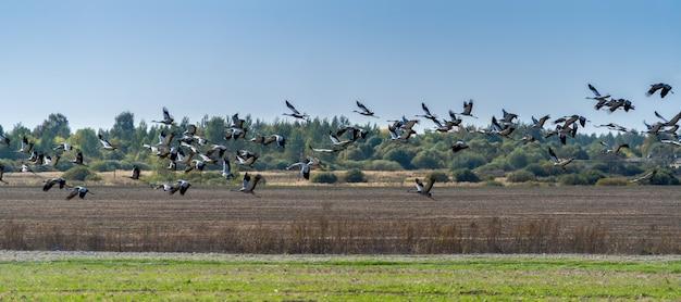 Стая журавлей пролетает над полем в поисках пропитания в последние дни перед отъездом в теплые края.