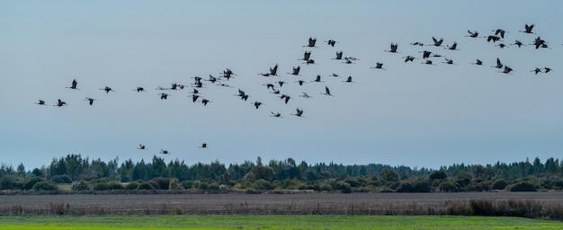 ツルの群れが食べ物を求めて畑の上を飛ぶ