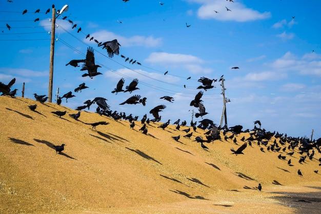 Стая ворон обедает на большой куче зерна