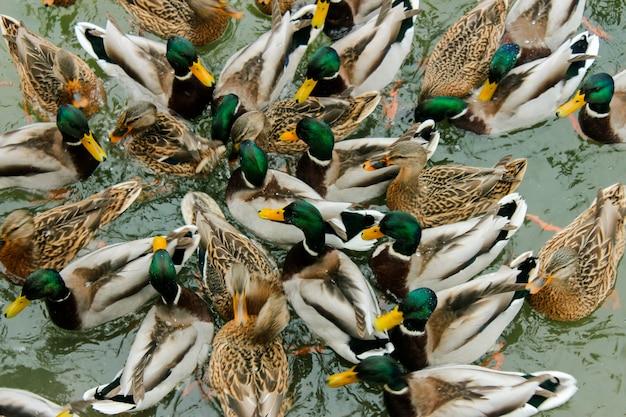 アヒルの群れが所定の位置に押し込まれ、餌を与えます