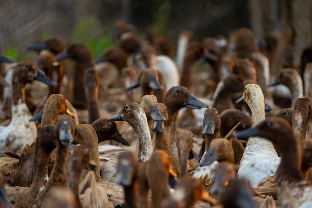 整理するために一緒に集められた食べ物を探して戻ってきたアヒルの群れ