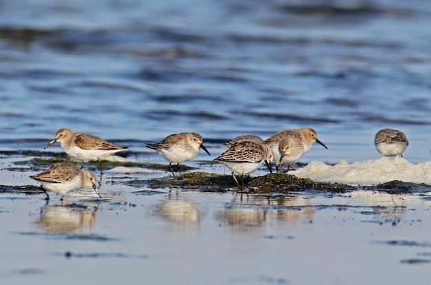 冬の羽のハマシギの群れは河口の岸を食べます